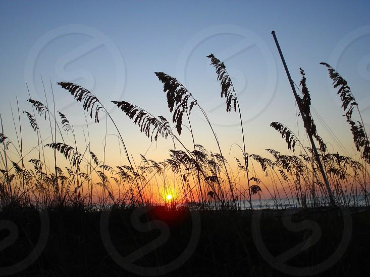 Seagrass at sunrise Hilton Head Island SC photo