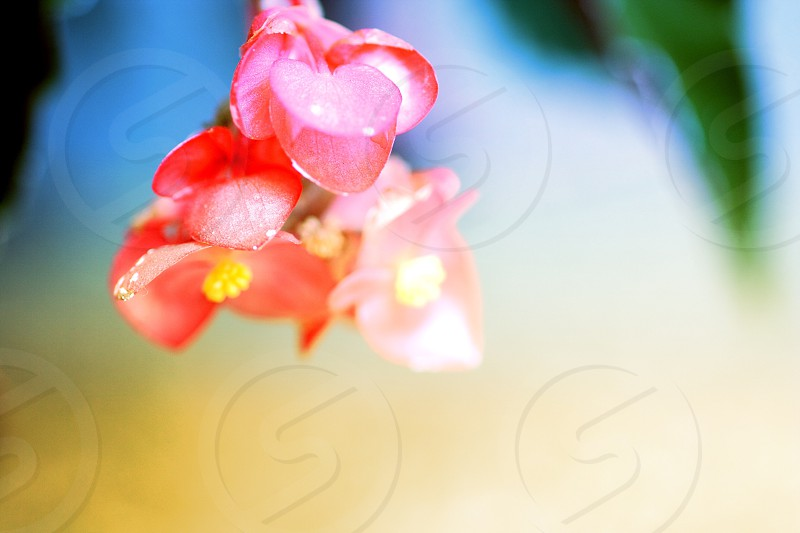 A bunch of  pink angel wing begonia blossoms behind a vibrant green and yellow background photo