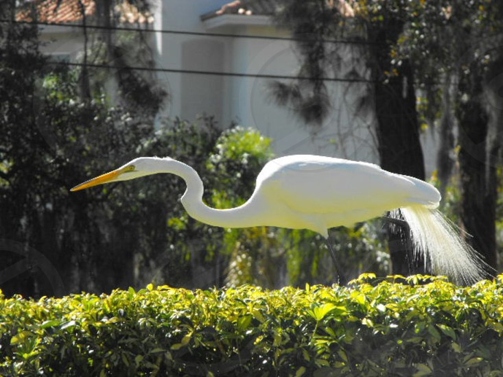 Great White Egret photo