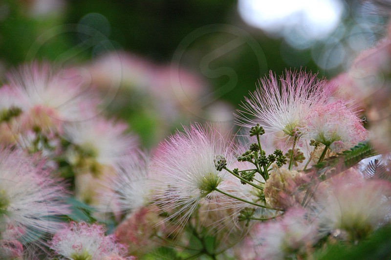 white and pink flower photo