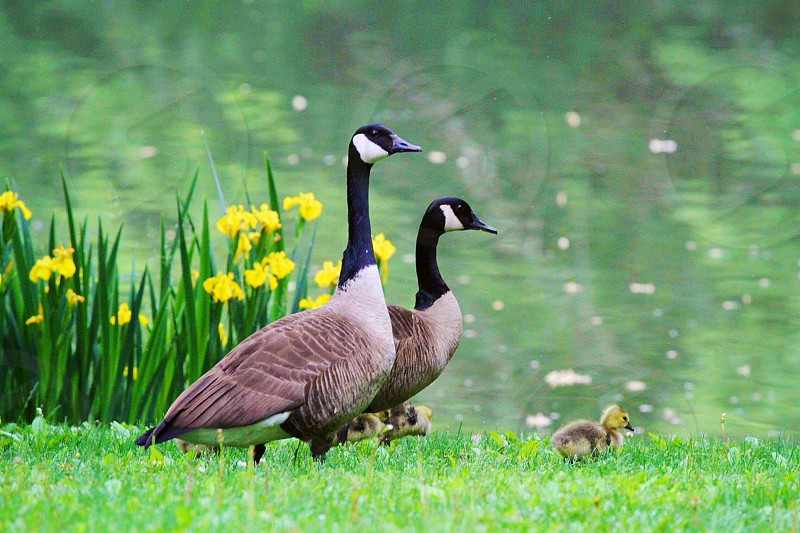 Proud parents explore the duck pond.   photo