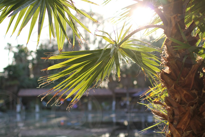 tropical palm tree palm frond leaves palm springs coachella beach lagoon light through leaves summer sunshine  photo