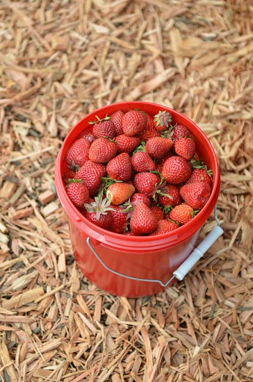 Strawberries strawberry red garden fresh organic fruit bucket bark chips photo