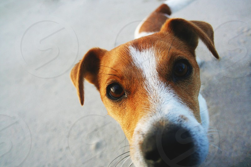 Dog (jack russel puppy) on the beach photo