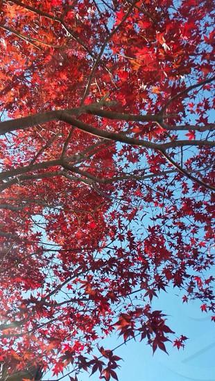 紅葉   もみじ 秋 青空  自然 photo