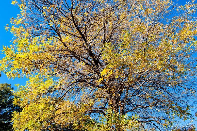 yellow fall tree against a blue sky. hinton oklahoma photo