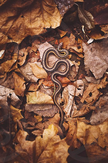 brown snake on brown leaves on ground during daytime photo