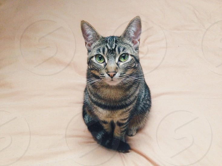 brown tabby cat photo