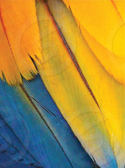 yellow and blue feathers photo