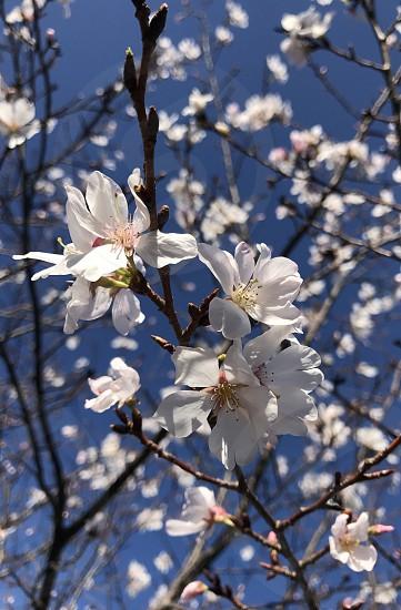 Spring in Atlanta GA cherry blossoms  photo