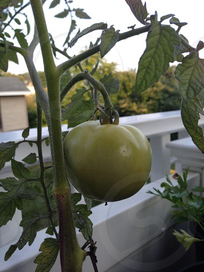 green tomato on vine photo