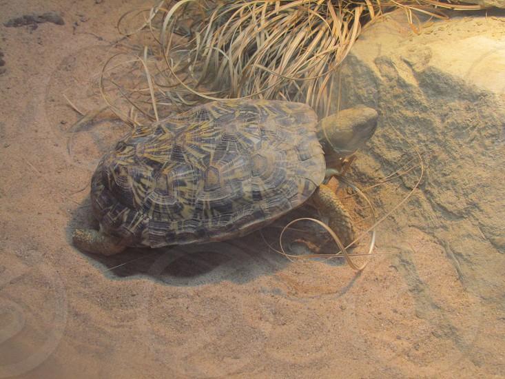 Box turtle in sandy landscape. Tortoise sand desert reptile shell grass grassy photo