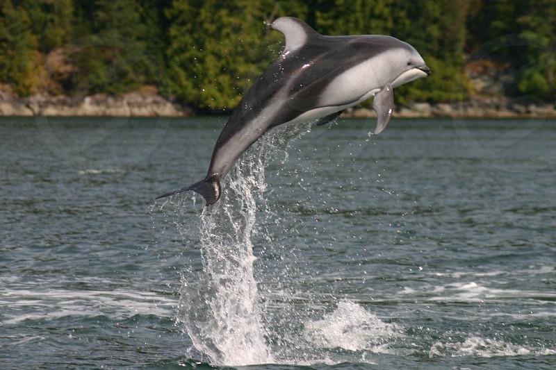 Dolphin jumping BC photo