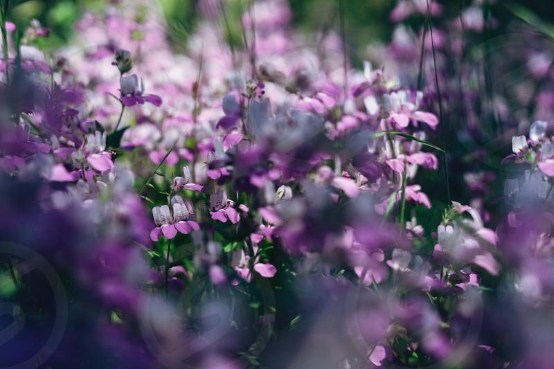 Lupine spring flowers wild flowers purple closeup photo