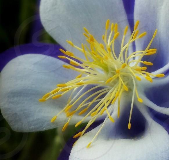 white and purple columbine flower macro photo photo