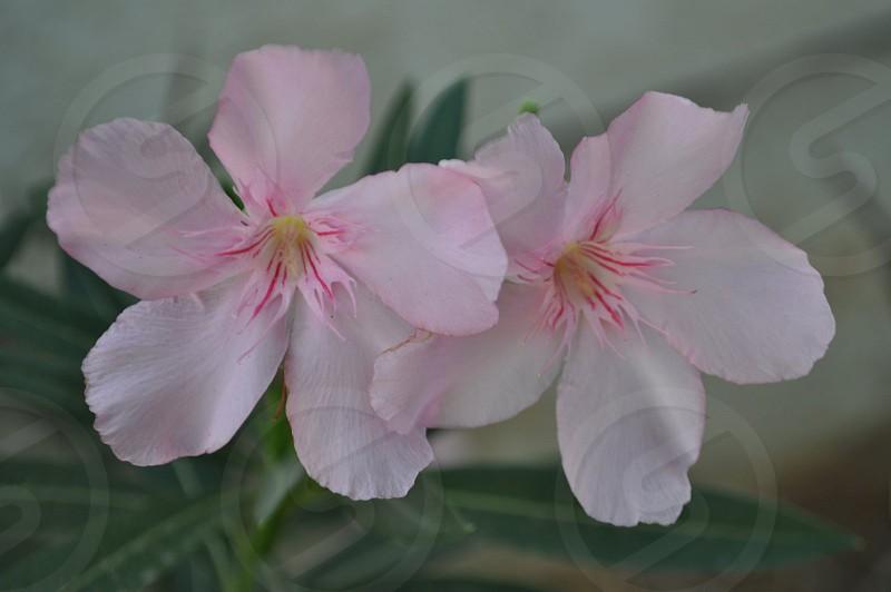 Pink flower oleander beautiful flower photo