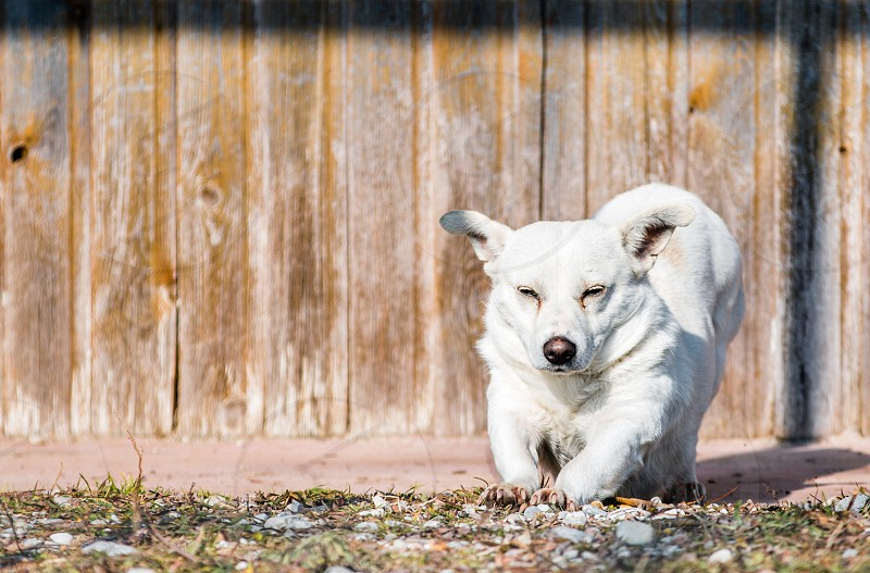 White Small Dog In Front Of Wooden Background photo
