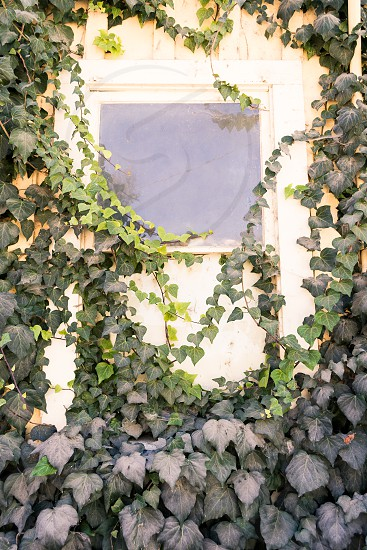 Old building covered in ivy photo