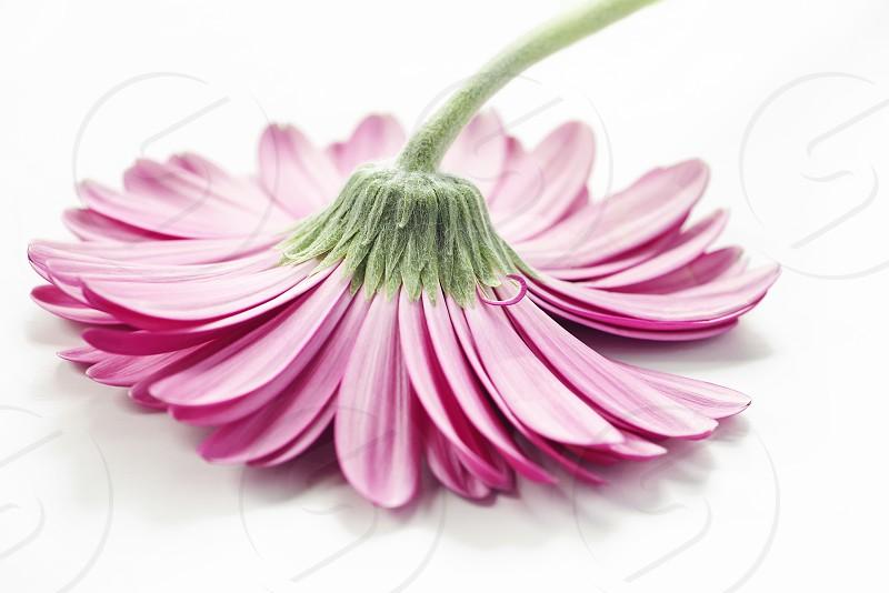 Close up of a pink gerbera daisy upside down. photo