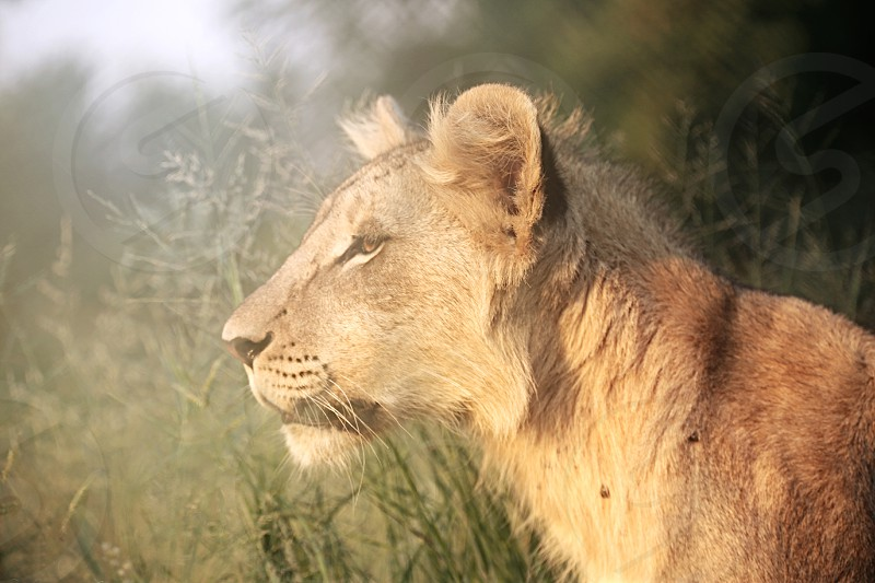 Wild lioness walking in the sunset in South Africa Thabazimbi. photo