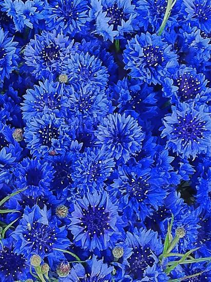 blue flower patch photo