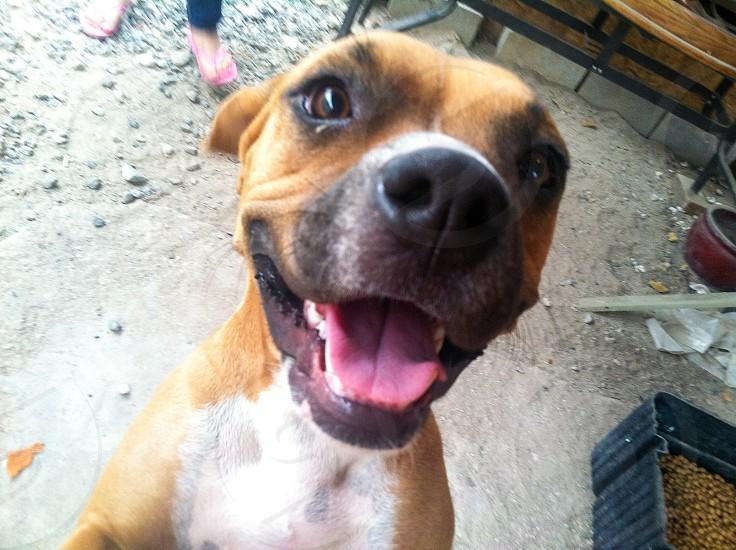 Happy dog boxer smiling dog photo