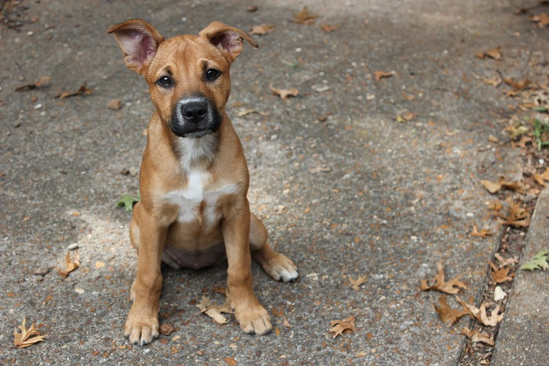 tan pit bull terrier puppy photo