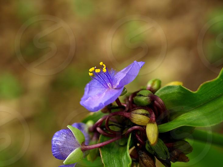 spiderwort native plant flower pollen nature photo