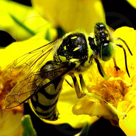 black and yellow wasp on yellow flower photo