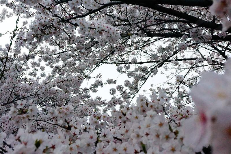 white dogwood tree flowers photo
