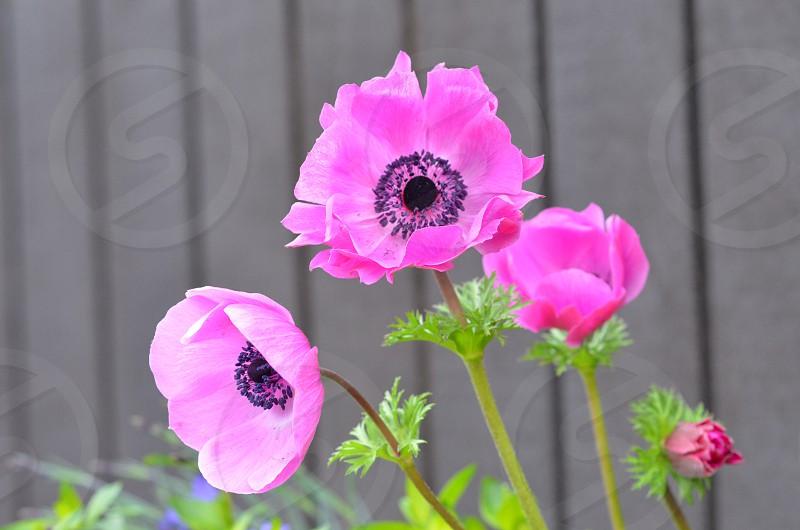 Poppies plants garden gardening  photo
