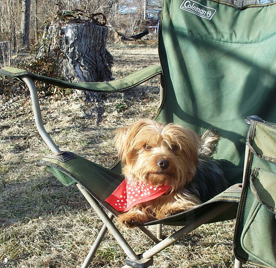 Yorkshire Terrier in Camping chair (Elijah) photo