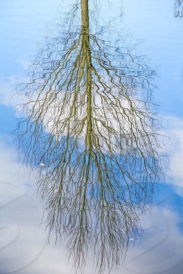 beech tree mirrored in a lake photo