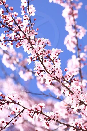 closeup photography of cherry blossoms photo