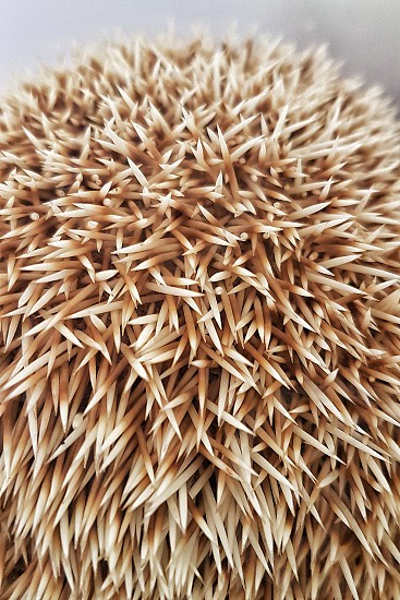 Closer look at a Hedgehog's spikes photo
