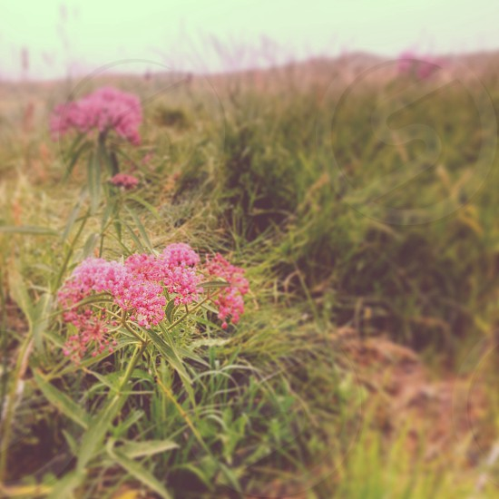 Wild flowers on a South Dakota prairie  photo