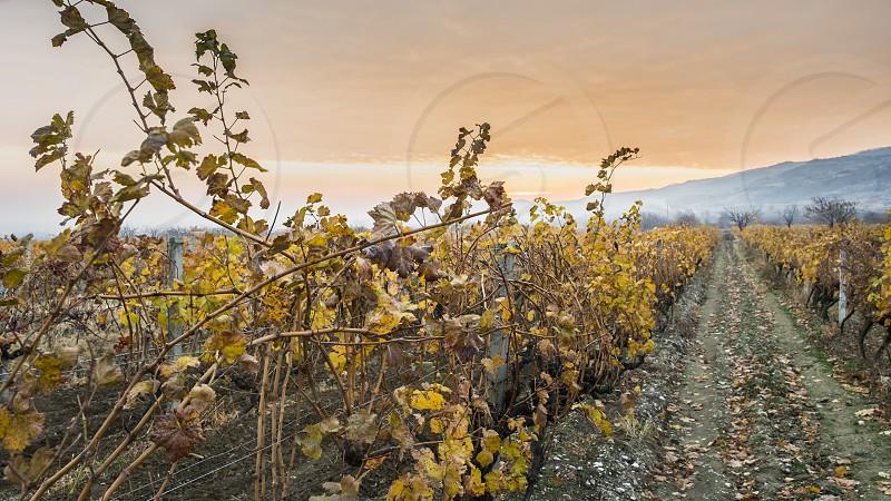 Vineyards on sunrise. Autumn vineyards in the morning. Sunbeams photo