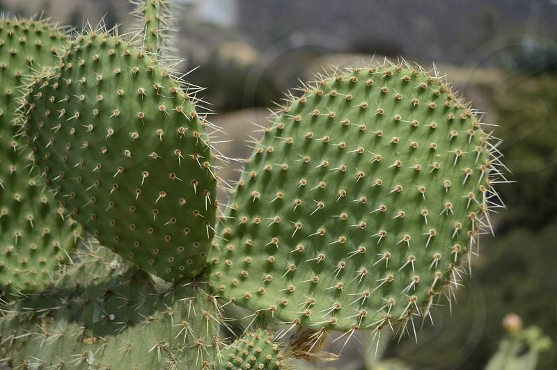 Los Angeles Cactus photo