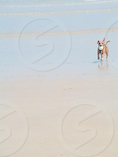 brown american pitbull terrier on seashore photo