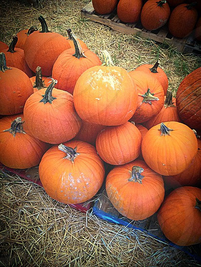 Pumpkins.  photo