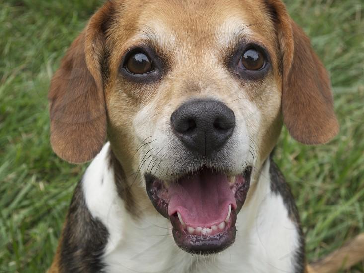 curious beagle up close photo