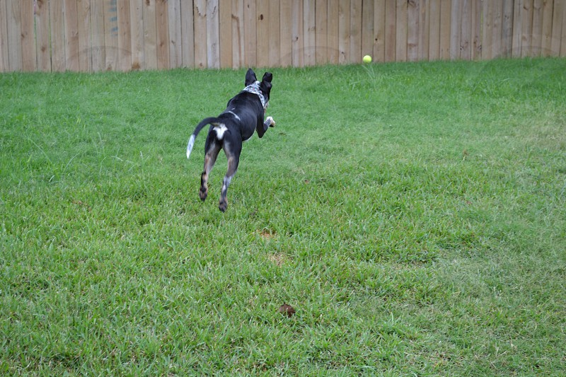 Foster pup Remy chasing a tennis ball photo