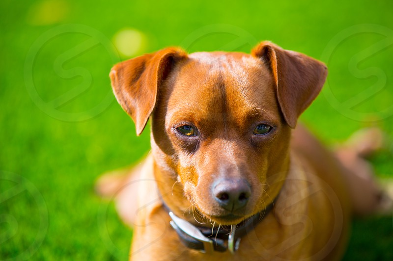Mini pinscher brown little dog portrait lying in lawn relaxed photo