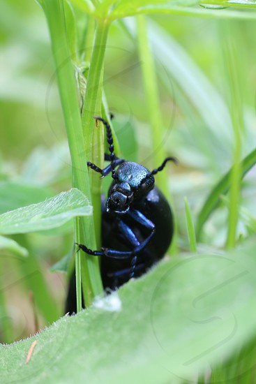black beetle on blade of grass photo