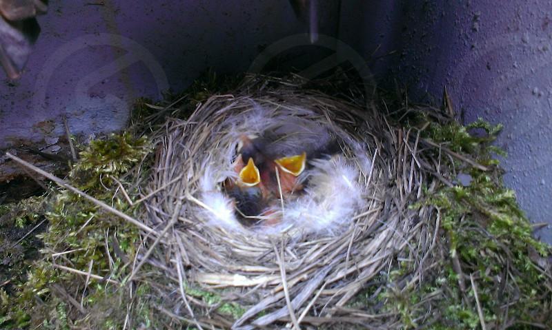 bird hatchlings in bird's nest photo