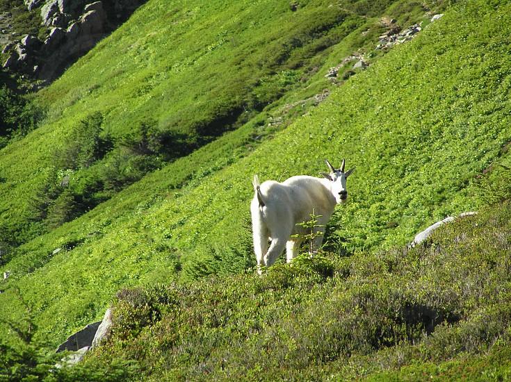 white goat on mountain photo