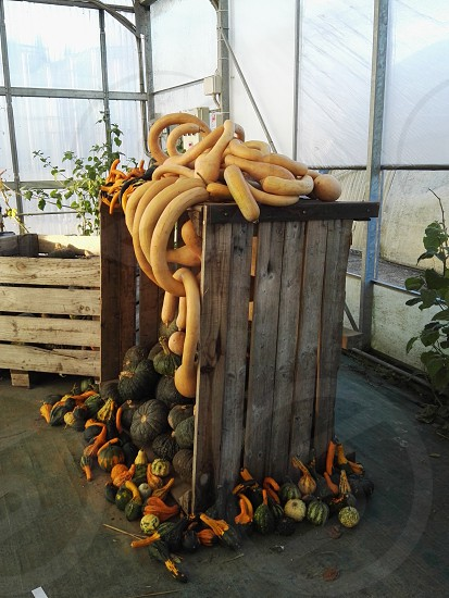 squash and yellow gourds on a overturned crate box inside a greenhouse photo