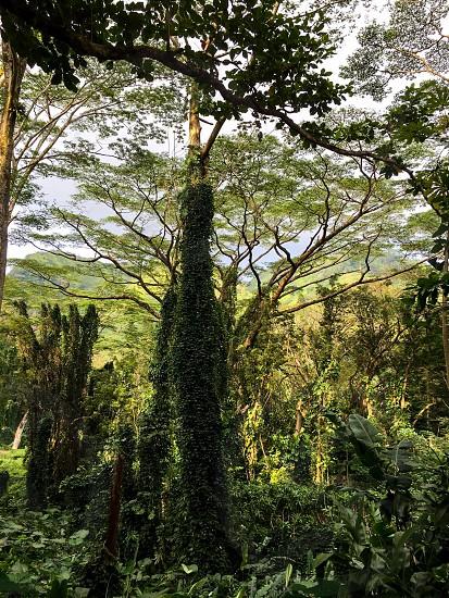Manoa trail  photo
