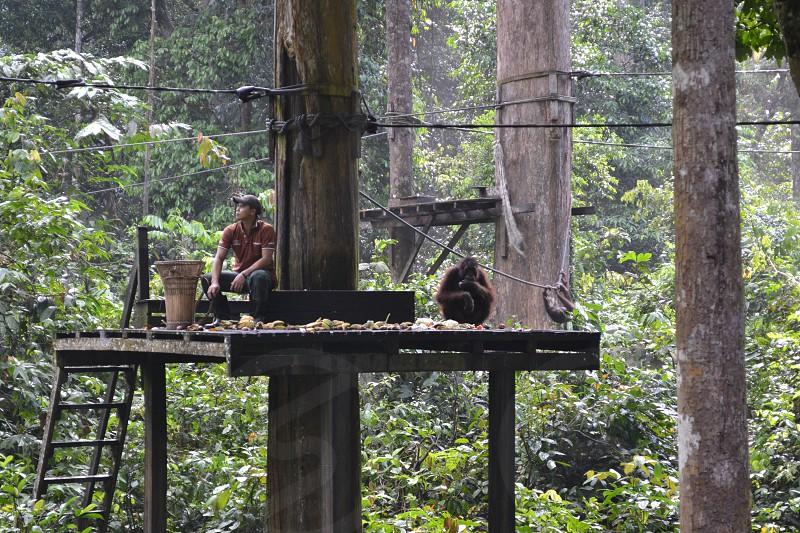 Borneo species orangutan man trees fruit rainforest jungle  photo