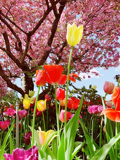 Flowers colors tulips spring cherry tree photo